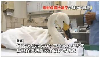 newsボウガン矢刺さり…コハクチョウ死ぬ 埼玉1