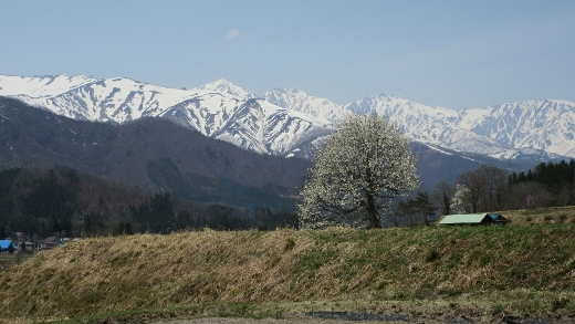 つぶれた我が家近くに咲くこぶしと残雪の白馬三山 (520x293)