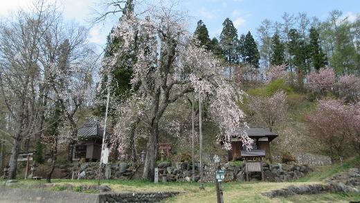 新田地区に咲くしだれ桜 (520x293)
