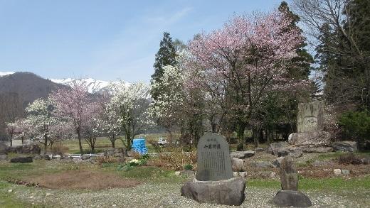 飯森神社の桜・こぶし (520x293)