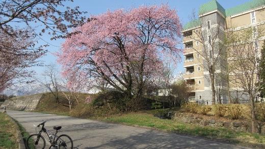 姫川沿いのマンション傍に咲く桜の大木 (520x293)