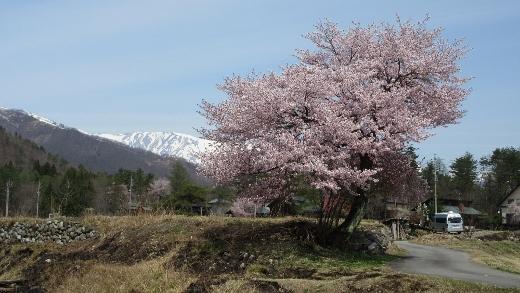 飯森地区田んぼにある桜バックに白馬三山 (520x293)