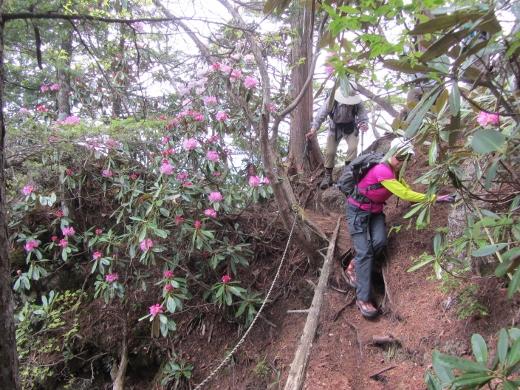 昨年の鍬の峰登山道の石楠花 (520x390)