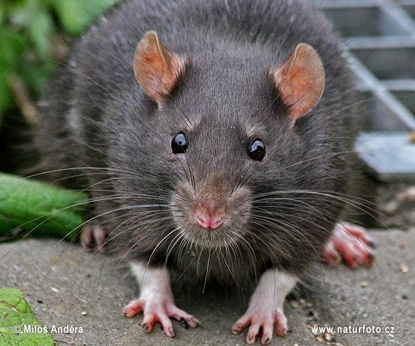 rato-preto-24x_rat7.jpg
