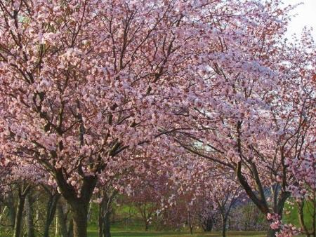 201505011桜