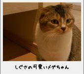 スコティッシュ猫
