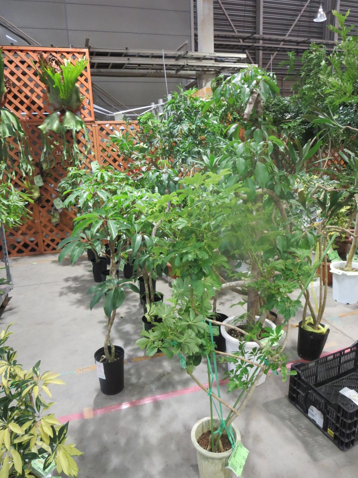 フェアー観葉植物