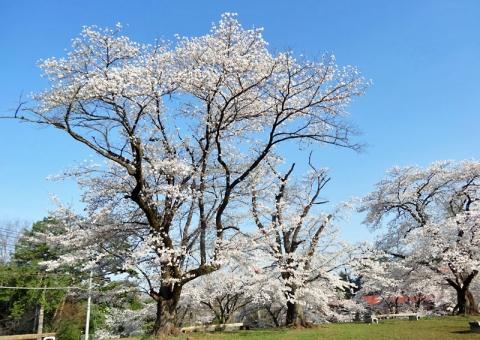 秩父羊山公園の桜