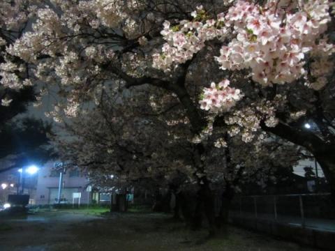 御手洗児童公園の夜桜