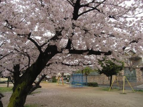 御手洗児童公園の桜