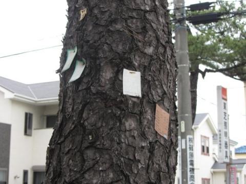 旧東海道松並木にて