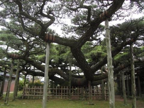 永安寺・雲竜の松