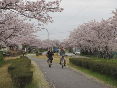 明治用水桜並木