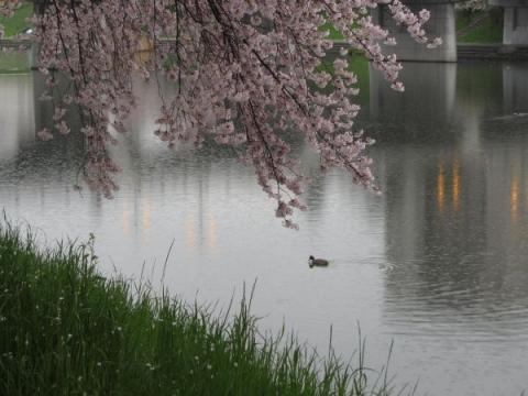 乙川堤の桜並木
