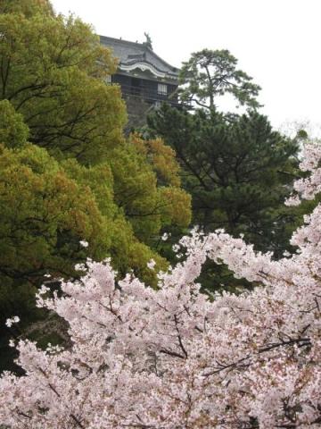 岡崎城天守と桜