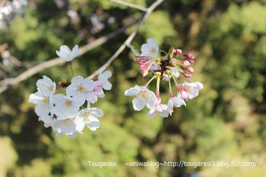 20150405sakura5.jpg