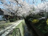 150402_京都桜旅03