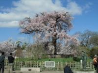 150402_京都桜旅02