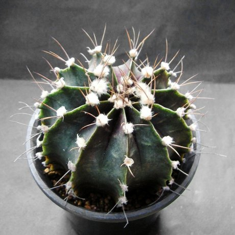 Sany0038--stenopleurum--P 435--suedl Cerro Leon--Paraguay--Piltz seed
