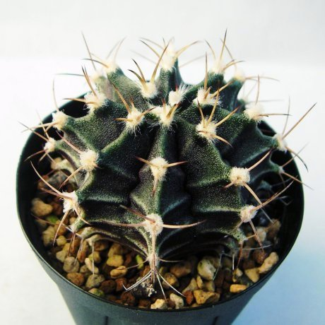 Sany0127a--stenopleurum--LB 3027--- Cerro Leon, Paraguay 200m--Bercht seed