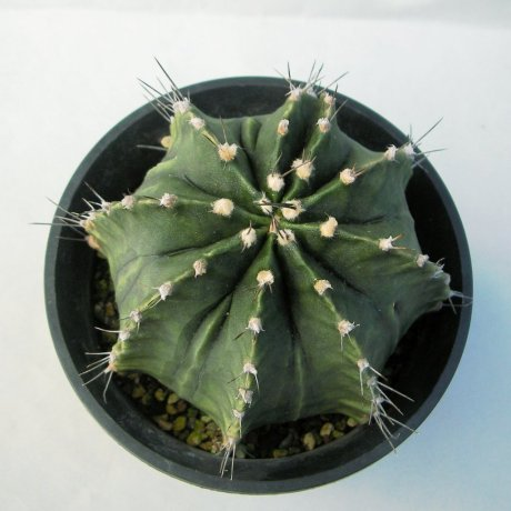 141206--Sany0112--mihanovichii v caespitosum--Rowland seed