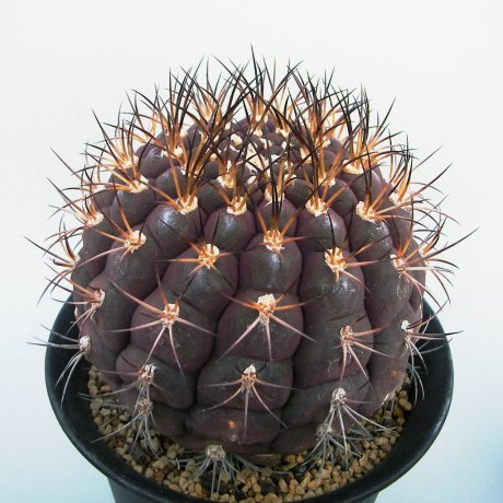 Sany0161--pflanzii albipulpa--