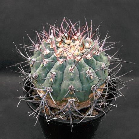 Sany0232b--bozsingianum v longispinum--ex Eden 15010