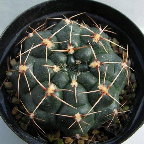 Sany0171--urguayense v melanocarpum--LB 2700--Bercht seed