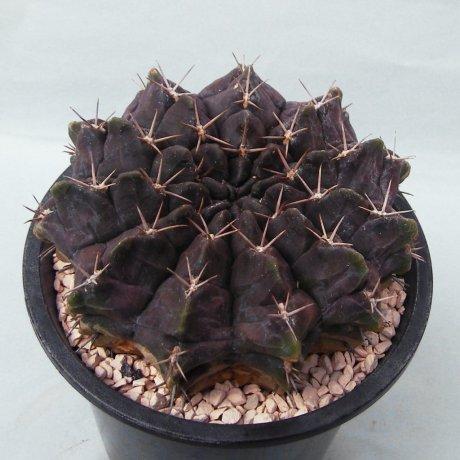 Sany0052--rotundicarpum--Piltz seed 3293