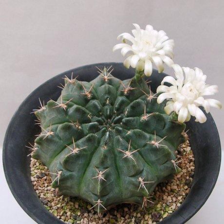 Sany0031-rotundicarpum--piltz seed 3293