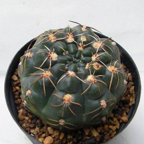 Sany0171--artigas--Jecminek seed 0-2467