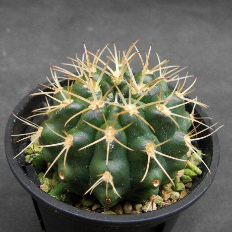 Sany0070-hamatum-VoS 03-67--VoS seed