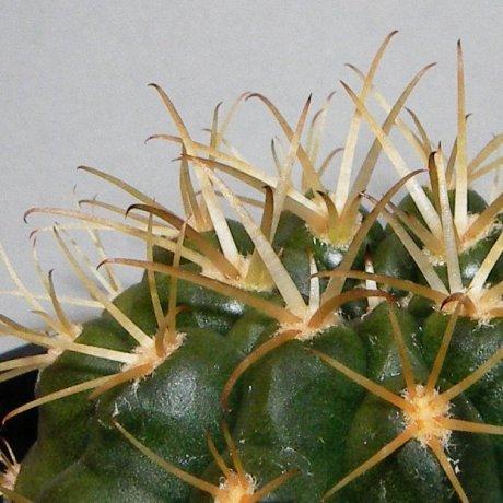 Sany0067-hamatum--VoS 03-067--Shaedlich seed