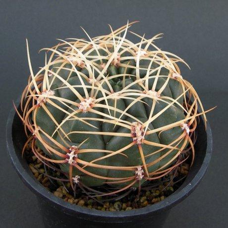 Sany0151--monvillei v coloratum--HV 361--Bercht seed
