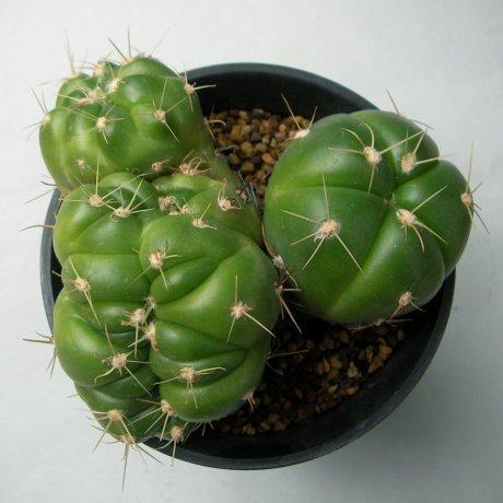 Sany0164--horstii-LB 923--Bercht seed
