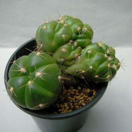 Sany0167--horstii--LB 923--Bercht seed