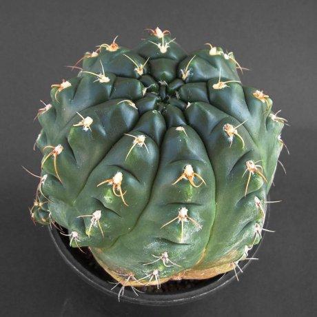 Sany0215--paraguayense--ex Moser---Piltz seed