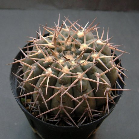 Sany0223--riojense ssp kozelskyanum v sanjuanense--STO 92-556-1--west of Valle Fertil SanJuan--ex Milena