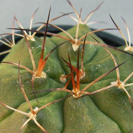 Sany0002--damsii ssp evae v boosii--VoS 08-321--Schaedlich seed