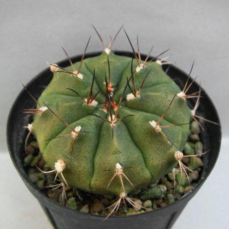 Sany0009--damsii ssp evae v boosii--STO 1404--S of San Jose Santa Cruz Boilvia--ex Eden