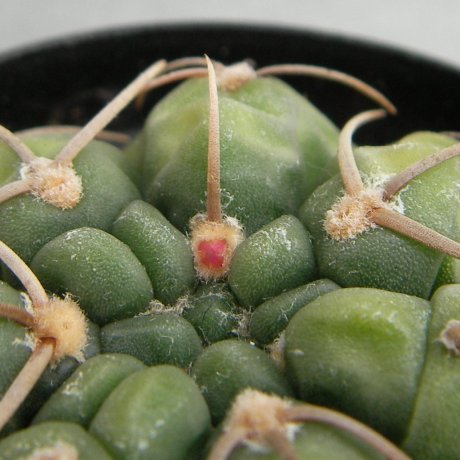 Sany0028--uruguayense v roseiflorum--LB 655-CCB seed