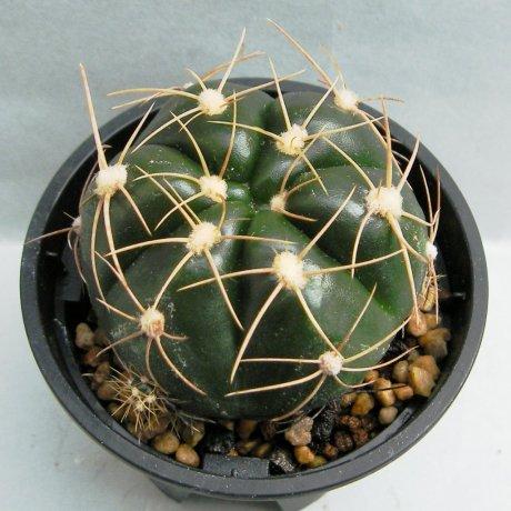 Sany0040--fleischerianum--LB 021--ex Eden 15475--