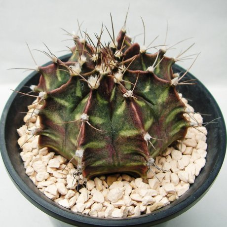 Sany0175--mihanovichii v piraretaense--Rowland seed
