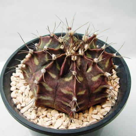 Sany0176--mihanovichii v piraretaense--Rowland seed