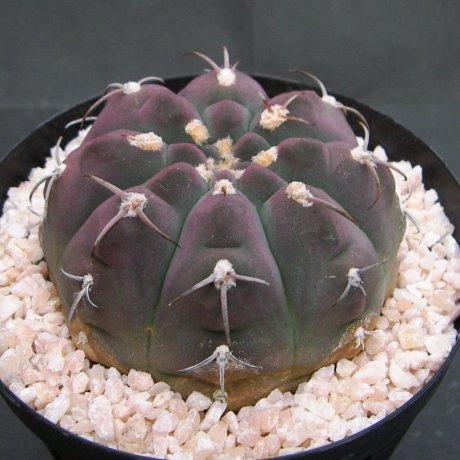 Sany0135--bayrianum--Sierra Ancasti bei El Alto--Amerhauser seed(1998)--Tutiy