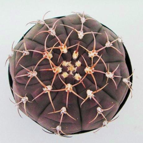 Sany0022--bayrianum--Sierra Ancasti--Amerhauser seed