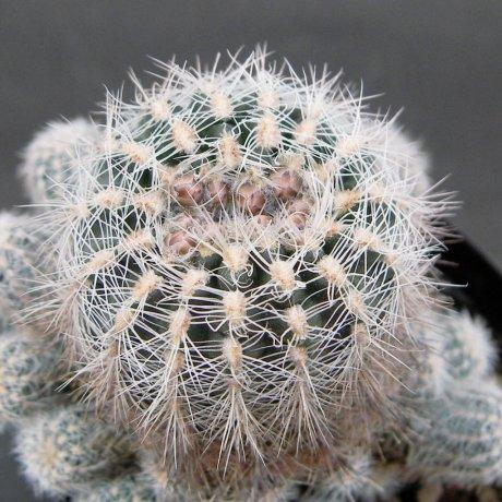 Sany0095--bruchii v niveum--OF 25-80--Piltz seed 1808