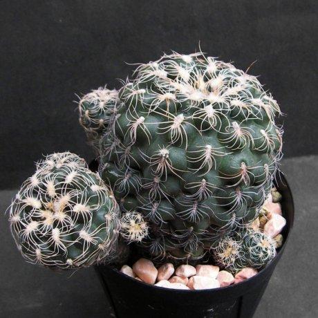 Sany0232--calochlorumproliferum --JPR 100-258--Mesa seed 459.2--ex Kousen en