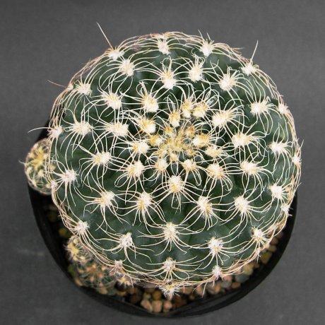 Sany0154--calochlorum v proliferum--P 109B-Las Labonas Cordoba--ex Eden 10877--