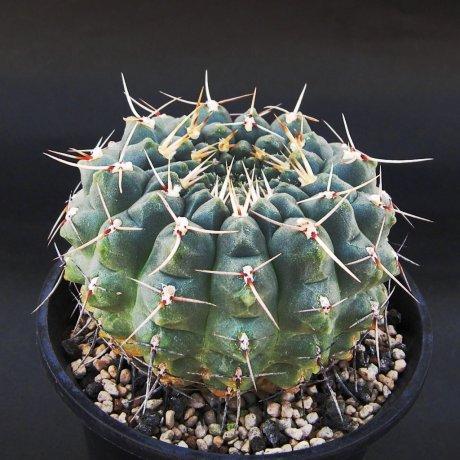 Sany0067--schroederianum ssp paucicostatum--LB 960--Piltz seed 3142-